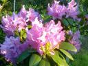 Aleja rododendrony